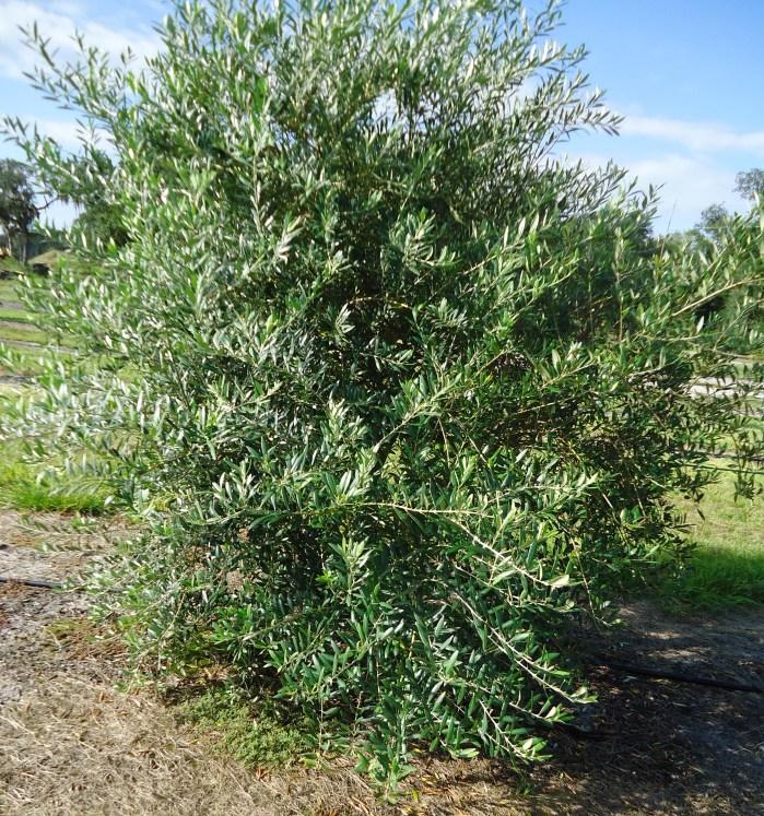 8 Yr Old Olive Tree
