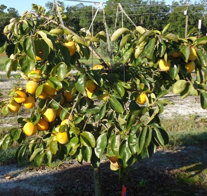 Persimmon Tree 2