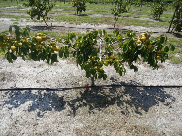 Persimmon Tree 6